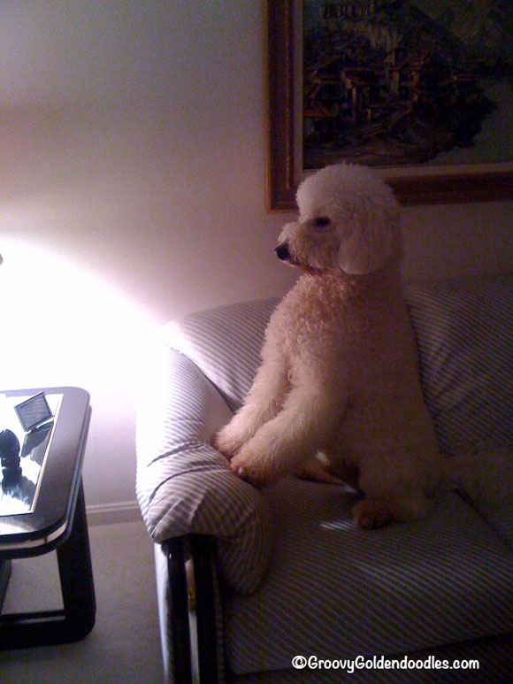 As a puppy Harley would wait for me to come home from work...