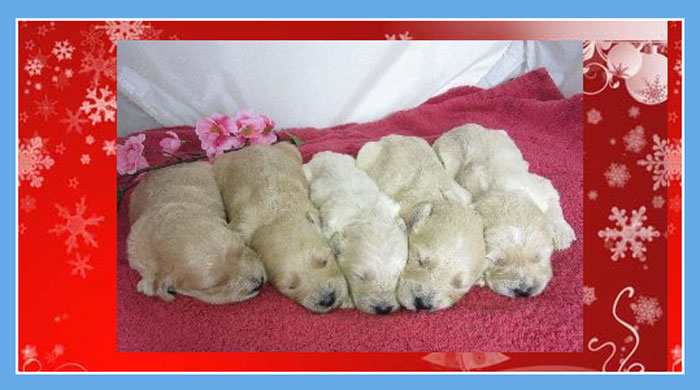 Jax and his siblings (photo courtesy of Laurel Ridge Goldendoodles