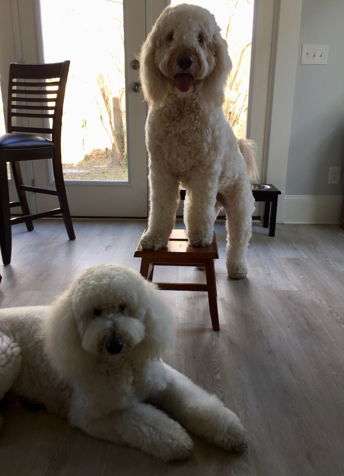 A GOLDENDOODLE YEAR IN REVIEW